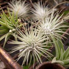 Tillandsia fuchsii @ 102 white hairy leaves Curl Xuite log ::