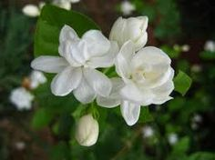 The jasmine plant produces tiny white or yellow fragrant flowers. Known by botanists to have grown in warm, temperate areas in the old world, jasmine held a symbolic place in many ancient cultures and is still held in high regard today. Exotic Flowers, Love Flowers, White Flowers, Beautiful Flowers, Gardenias, Arabian Jasmine, Flower Meanings, Flowers Perennials, Flower Pictures