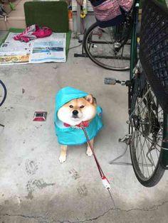 【運動嫌い!散歩いや!】動きたくない犬のダラダラ画像40選!! - ペット日和