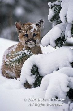 Mountain Lion cub ~ note the BLUE eyes
