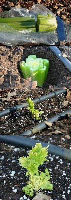 Celery starts