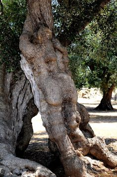 Ulivo antropomorfo. Puglia