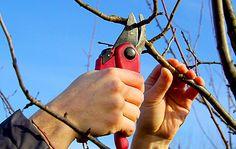 Kdy a jak prořezávat ovocné dřeviny? Tuto otázku si časem položí každý, kdo je na zahradu zasadil. Prořezávka je pro kvalitní úrodu důležitá. Je lepší ji provést na podzim, v zimě, na jaře či v létě? Stanislav Peleška vysvětluje zajímavé důvody, proč je letní řez výhodnější, nežli podzimní. Tree Pruning, Pruning Shears, Garden Tools, Gardening, Gardens, Plant, Lawn And Garden, Gardening Scissors, Yard Tools