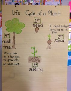 Research Focus – Life Cycle of a Plant - Kindergarten 1st Grade Science, Kindergarten Science, Teaching Science, Science Activities, Classroom Activities, Teaching Ideas, Plant Lessons, Science Lessons, Tree Life Cycle