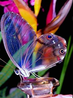 An amber phantom butterfly, found in South America.