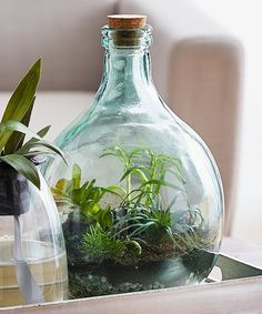Put together a closed micro-ecosystem in this terrarium bottle featuring a vacuum sealed closure and teardrop silhouette designed to allow fauna to flourish without need for watering. Terrarium Closed, Light Bulb Terrarium, Bottle Terrarium, Bottle Plant, Plants In Bottles, Glass Bottles, Air Plants, Indoor Plants, Home Organization Hacks