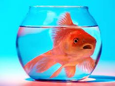 ) The brain adapts to needs, both in fish and humans. A goldfish in a bowl is a stock allegory for stupidity we know Fish Wallpaper, Animal Wallpaper, Iphone Wallpaper, Goldfish Care, Goldfish Bowl, Small Fish, Big Fish, Fishbowl Centerpiece, Pc Image
