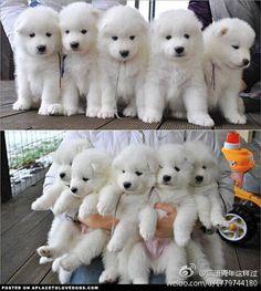 Samoyed pups