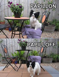 I love Papillons !!!!!