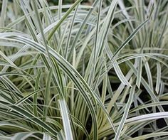 GREAT WHITE™ Lomandra longifolia 'Muru' PBR. http://www.ozbreed.com.au/strappy-leaf-plants/great-white-lomandra-is-a-variegated-form-with-bigger-flowers-and-a-more-dense-compact-form-strappy-leaf-plants-2/