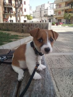 Mila cucciola di jack Russell broken Thousand of Russell broken jack Mila cucciola di jack Russell broken Cute Dogs And Puppies, Baby Puppies, Baby Dogs, Pet Dogs, Dog Cat, Maltese Puppies, Chihuahua Dogs, Doggies, Perros Jack Russell