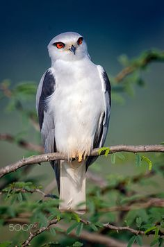 I love outdoors, nature and wildlife. Photography(Wildlife) is just an natural extension of what i always like do. Beautiful Birds, Animals Beautiful, Cute Animals, Eagle Drawing, Cartoon Birds, Australia Animals, Australian Birds, Majestic Animals, Wildlife Nature