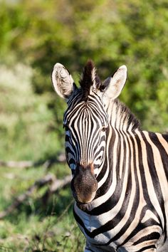 Did you know a group of zebras is called a dazzle? This article explains a little on why this is such a fitting pronoun