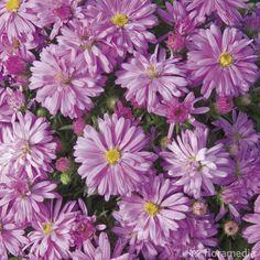 Aster novi belgii rosa perle : godet Aster, Border Plants, Chrysanthemums, Shrubs, Pots, Gardening, Flowers, Perennial Plant, Shrub