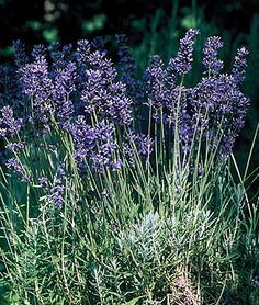 Lavender, Provence Blue - Seed available! Should produce a plant 2'x2' mature size - One of the varieties recommended for OK by the Lavender farm in Apache, OK