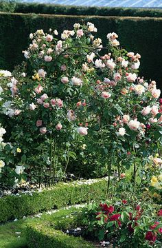 giant english shrub rose 39 a shropshire lad 39 great as a. Black Bedroom Furniture Sets. Home Design Ideas