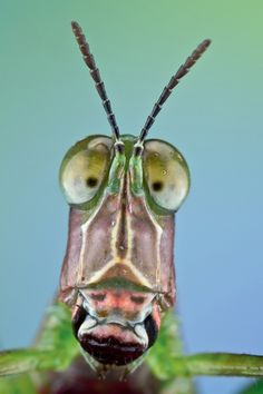 The face of the Monkey Grasshopper. He has cross-eyed pupils.