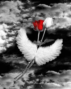 Black and white photo with red white rose on angel wings. Splash Photography, Black And White Photography, Art Photography, Black And White Colour, Black And White Pictures, Pretty Black, Red Black, White Roses, Red Roses