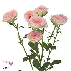 Creamy Twister are a pale pink & cream multi-headed Spray Rose variety. Stem length: 50cm. Wholesaled in 20 stem wraps.