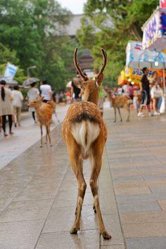 Japanese Shika Deers Everywhere at Nara Park, West Japan|奈良の鹿