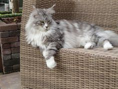 Black zilver tabby - Maine coon