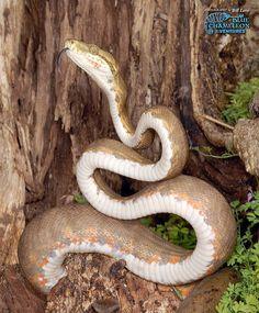 Amazon Tree Boas ~ Corallus hortulanus   Flickr - Photo Sharing!