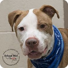 Urgent! I am at a full, high kill shelter in Troy, OH - Pit Bull Terrier Mix. Meet Carson, a dog for adoption. http://www.adoptapet.com/pet/15948878-troy-ohio-pit-bull-terrier-mix