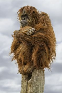 Taken on a somewhat cold winter day in December of I have seen this orangutan perched on top of this pole a view times. Orangutans are among the most intelligent primates. Primates, Mammals, Animals And Pets, Nature Animals, Funny Animals, Cute Animals, Beautiful Creatures, Animals Beautiful, Photo Animaliere
