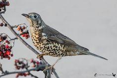 Mistle Thrush by Robert Hart - BirdGuides Mistle Thrush, Rare Birds, North Yorkshire, Bird Species, British, Inspiration, Animals, Paintings, Biblical Inspiration