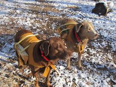 Hard working labs with their log carrier coats
