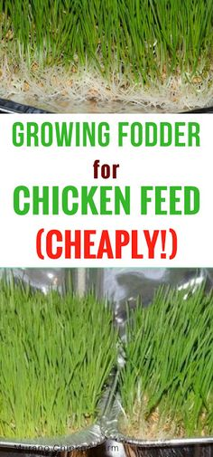 Growing fodder for chicken feed (cheaply) Growing fodder cheaply. Fodder is a great supplement for c Portable Chicken Coop, Backyard Chicken Coops, Diy Chicken Coop, Backyard Farming, Chickens Backyard, Chicken Coup, Chicken Feeders, Keeping Chickens, Raising Chickens