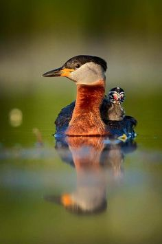 A Red Necked Grebe with her young chick baby animals birds ducks grebes bird. more with healing sounds: Pretty Birds, Love Birds, Beautiful Birds, Animals Beautiful, Animals And Pets, Baby Animals, Cute Animals, Wild Animals, Exotic Birds
