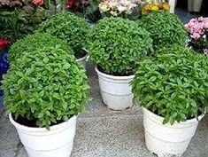 in pots - -basil in pots - - Kitchen Herbs, Mango Syrup, Healthy Menu, Baked Yams, Banana, Advantages Of Watermelon, Growing Herbs, Balsamic Vinegar, Medicinal Plants