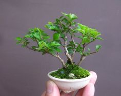 Bonsai in Hand (Worth Two on the Bench) | Bonsai Bark