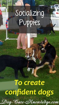 Dog Behavior Try these tips on socializing puppies in a positive way that teaches them to be a confident dog without fear or aggression. Dog Training Methods, Dog Training Techniques, Training Your Puppy, Potty Training, Training Classes, Pa Training, Training Schedule, Training Collar, Crate Training