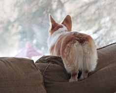 Corgis look out of windows, hoping Mommy and Daddy will come home soon