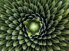 """The Golden Ratio and Secret Geometry in Nature """"These wonderfully symmetrical plants show the fractal nature of math, physics and the universe. Could this be evidence of sacred geometry? """"Look deep."""