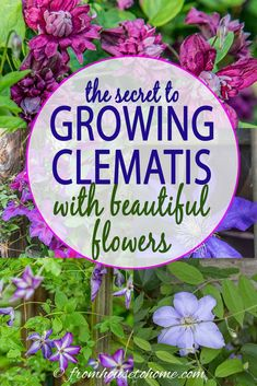 This Clematis care guide is AWESOME! It tells you how to grow Clematis, how to prune Clematis and what varieties will do well in your garden design. Learn all about these perennial vines with beautiful flowers. Clematis Care, Blue Clematis, Clematis Plants, Autumn Clematis, Garden Plants, Fruit Garden, Climbing Clematis, Climbing Flowers, Clematis Flower