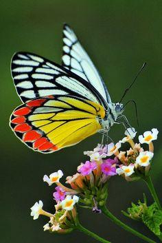 Common Jezebel (Delias eucharis) Wayang - common - medium ~~Beauty of Jezebel Butterfly by vijvijvij~~ nature Beauty Butterflies, Types Of Butterflies, Beautiful Butterflies, Butterfly Kisses, Butterfly Flowers, Butterfly Wings, Blue Butterfly, Beautiful Bugs, Amazing Nature