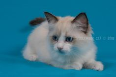 9 Week oud. Ragdoll Lady Sif, Cats, Animals, Gatos, Animales, Kitty Cats, Animaux, Animal Memes, Cat Breeds