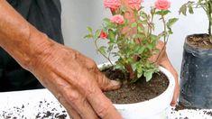Cultivo de rosas en miniatura