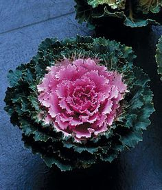 Song Bird Pink Flowering Kale Seeds and Plants, Flowers at Burpee.com