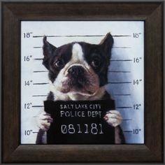 Boston terrier, mug shot, funny dog, Lucia Heffernan Framed Art Prints, Painting Prints, Canvas Prints, Framed Wall, Art Paintings, Funny Dogs, Cute Dogs, Canvas Frame, Canvas Wall Art