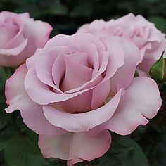 Fiori Che Assomigliano Alle Rose.24 Fantastiche Immagini Su Rose Rose Fiori E Rose Inglesi