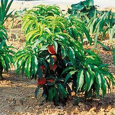 Vente de pêchers nains Bonanza  en ligne issus de nos productions d'arbres fruitiers Georges Delbard. Découvrez la fiche technique et nos conseils de plantation et de culture.