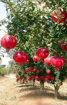 Scientific name: Punica Granatum L English name: Pomegranate 石榴 Fruit Plants, Fruit Garden, Fruit Trees, Colorful Fruit, Tropical Fruits, Fruit And Veg, Fresh Fruit, Pomegranate Farming, Fruit Bearing Trees