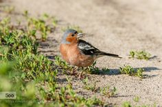 Chaffinch on ground by AlexRodoman