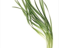 Lily Grass - Florida Greens - Greens, Foliages and Branches - Flowers by category Leafy Plants, Flower Branch, Branches, Grass, Lily, Florida, Herbs, Flowers, The Florida