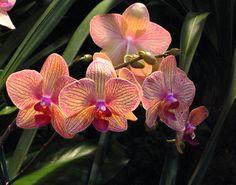 """Kaleidoscope""~beautiful Phaleanopsis taken at the International Orchid Show in Maimi."