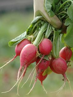 How to Grow Radishes: Easy Growing Guide: Organic Gardening. Make weekly spring sowings as soon as you can work the soil (4 to 6 weeks before the last expected frost) until early summer; start again in late summer. Sow winter radishes in midsummer for a fall harvest.